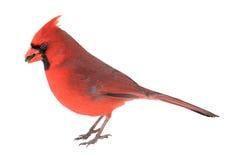Norther Cardinal, Cardinalis cardinalis Royalty Free Stock Photo
