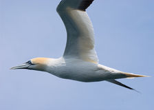 Norther Gannet in flight filling frame Stock Photos
