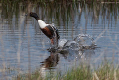 Norther Shoveler Royalty Free Stock Image