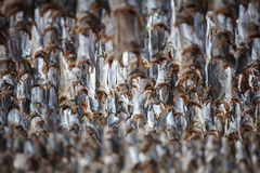 Norther traditional stockfish outdoor drying on Stock Photography