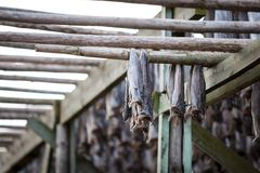 Norther traditional stockfish outdoor drying on Royalty Free Stock Image