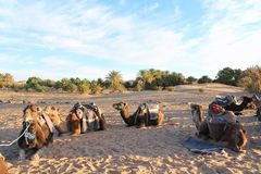 Northern African camels resting in Sahara Desert stock image