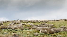 Northern Andean paramo is an ecoregion containing paramo vegetatation. Northern Andean paramo is an ecoregion containing paramo vegetation above the treeline in royalty free stock photos