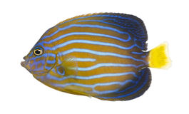 Northern Angelfish, Chaetodontoplus septentrional. Side view of a Northern Angelfish, Chaetodontoplus septentrionalis, isolated on white Stock Photography