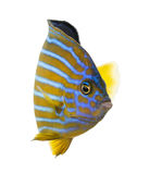 Northern Angelfish. Chaetodontoplus septentrionalis, isolated on white Stock Images