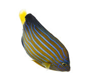 Northern Angelfish swimming down. Chaetodontoplus septentrionalis, isolated on white Royalty Free Stock Photography