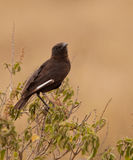 Northern Anteater Chat Stock Photo