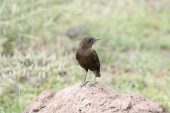 Northern Anteater-Chat & x28;Myrmecocichla aethiops& x29; on Rocky Habitat Stock Photos