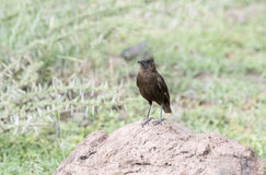 Northern Anteater-Chat & x28;Myrmecocichla aethiops& x29; on Rocky Habitat Royalty Free Stock Image