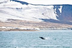 Northern Arctic landscape with breaching Humpback whale in foreground. A landscape in Northern Arctic shows ice melt and a glacier with a breaching Humpback royalty free stock photos