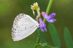 Northern Azure Butterfly - Celastrina lucia. Northern Azure Butterfly collecting nectar from a purple flower. Also known as an Eastern Spring Azure.The Portlands royalty free stock photography