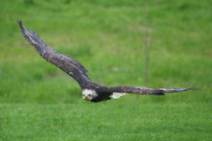 Northern bald eagle Royalty Free Stock Images