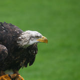 Northern bald eagle Stock Images