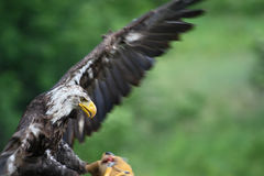 Northern bald eagle Royalty Free Stock Photography