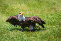 Northern bald eagle Stock Photo
