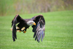 northern bald eagle Stock Image