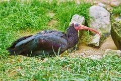 Free Northern Bald Ibis Royalty Free Stock Images - 104592029