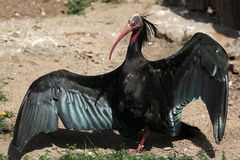 Northern bald ibis (Geronticus eremita) Royalty Free Stock Images