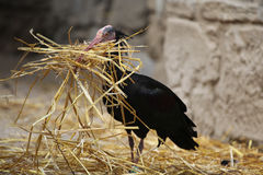 Northern bald ibis (Geronticus eremita). Royalty Free Stock Photo
