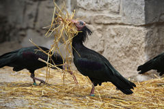 Northern bald ibis (Geronticus eremita). Royalty Free Stock Photos