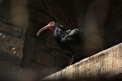 Northern bald ibis (Geronticus eremita). Royalty Free Stock Photography