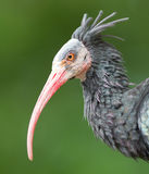 Northern Bald Ibis (Geronticus eremita) Royalty Free Stock Photography