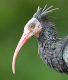 Northern Bald Ibis (Geronticus eremita) Royalty Free Stock Photography