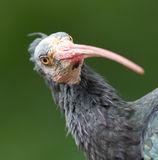 Northern Bald Ibis (Geronticus eremita) Royalty Free Stock Image
