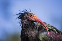 Northern Bald Ibis (Geronticus eremita) Royalty Free Stock Photo