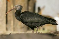 Northern bald ibis (Geronticus eremita) Stock Photo