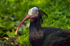 Northern bald ibis Royalty Free Stock Photo
