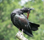 Northern Bald Ibis Royalty Free Stock Images
