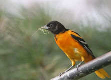 Northern Baltimore Oriole Stock Images
