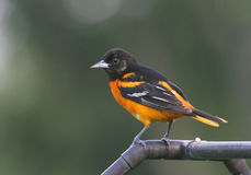 Northern Baltimore Oriole. Perched in the garden Royalty Free Stock Image