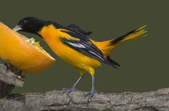 Northern Baltimore Oriole (Icterus galbula). A Baltimore Oriole stretches to eat from an orange Stock Images