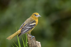 Northern (Baltimore) Oriole-Juvenile. Baltimore Oriole perched photographed in Costa Rica Royalty Free Stock Photography