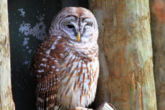 Northern Barred Owl. (Strix varia) in Florida, North America stock photo