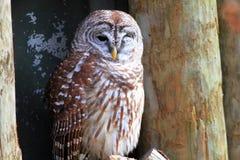Northern Barred Owl Stock Photo