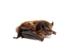 Northern bat on white. Stock Photo