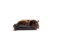 Northern bat on white. Stock Photos