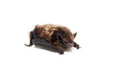 Northern bat on white. Stock Photography