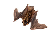 Northern bat on white. Stock Images