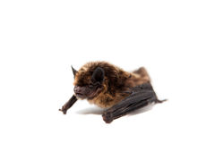 Northern bat on white. Royalty Free Stock Images