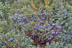 Bog Bilberry, Northern Bilberry, Vaccinium uliginosum, fruits in summer. Northern Bilberry belongs to the blueberry genus and contains psychotropic substances royalty free stock images