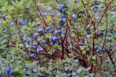 Bog Bilberry, Northern Bilberry, Vaccinium uliginosum, fruits in summer. Northern Bilberry belongs to the blueberry genus and contains psychotropic substances royalty free stock photo
