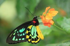 Northern birdwing Stock Photography