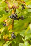Northern Black Currant berries Rubus hudsonianum Stock Photos