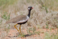 Northern Black Korhaan Royalty Free Stock Images