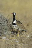 Northern black korhaan, Eupodotis afra Royalty Free Stock Photos