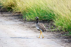 Northern black korhaan on the road. Royalty Free Stock Photos